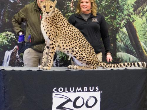 Cheetah from Columbus Zoo